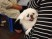 Pekingese Dog at Wo Che Estate Market Food Stalls Sha Tin